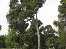 El árbol más alto del Retiro